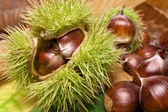 Fresh neat chestnuts on fallen leaves. Fresh chestnuts with open husk on fallen autumn leaves Stock Photography