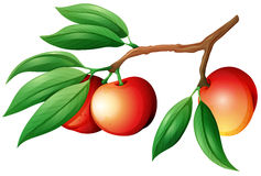 Fresh nectarine on the branch Royalty Free Stock Image