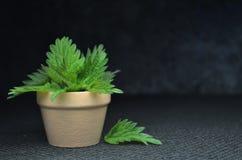 Fresh nettle bio herbal leaves. Spring time Stock Photo