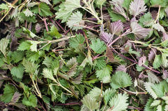 Fresh nettle leaves Royalty Free Stock Photography