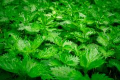 Fresh nettle leaves growing wild. Concept of alternative medicine. Many of the fresh nettle close up. royalty free stock image