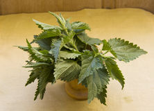 Fresh nettle leaves in the jar. For cooking Stock Image