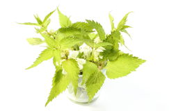 Fresh nettles with white flowers in glass cup Royalty Free Stock Images