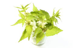 Fresh nettles with white flowers in glass cup Stock Images