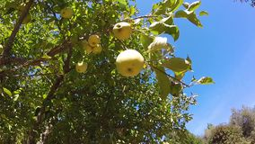Apples on apple tree with blue sky. Fresh new apples and green leaves on apple tree with blue sky stock video