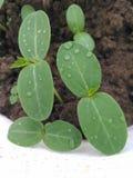 Fresh New Born Plant Closeup. Closeup of New Born Plant in Garden Royalty Free Stock Photography