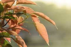 Fresh new brown leaves in warm sunlight Royalty Free Stock Images