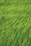 Fresh New Green Common Wild Barley Field Vertical Background Pattern, Hordeum vulgare L. Spikes Organic Cereals Metaphor Concept Royalty Free Stock Images