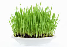 Fresh new green grass in white plate Royalty Free Stock Images