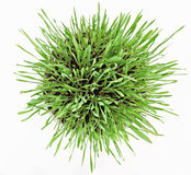 Fresh new green grass in white plate Royalty Free Stock Image