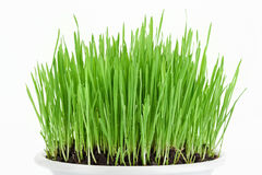 Fresh new green grass in white plate Stock Images