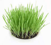 Fresh new green grass in white plate Royalty Free Stock Photos