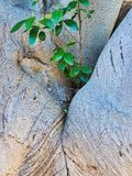 New Green Growth in Fork of Old Tree stock photography