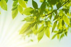 Fresh new green leaves Stock Photo