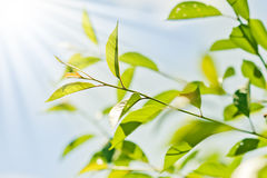 Fresh new green leaves Royalty Free Stock Images