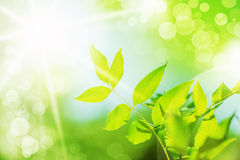 Fresh new green leaves Royalty Free Stock Photography