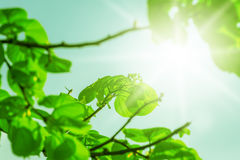 Fresh new green leaves and copy spase Royalty Free Stock Image