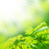 Fresh new green leaves and copy spase Royalty Free Stock Photography