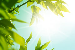 Fresh new green leaves glowing Stock Photography