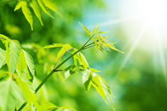 Fresh new green leaves Stock Images