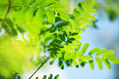 Fresh new green leaves Royalty Free Stock Photo
