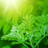 Fresh new green leaves glowing in sunlight Royalty Free Stock Image
