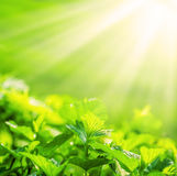 Fresh new green leaves glowing in sunlight Stock Images