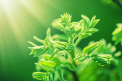 Fresh new green leaves glowing in sunlight Royalty Free Stock Photos