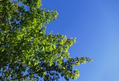 Fresh new leaves against a blue sky. Fresh new leaves brighten from spring sunshine against a blue sky royalty free stock photos