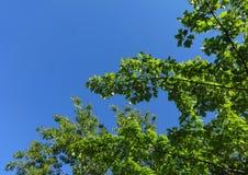 Fresh new leaves against a blue sky. Fresh new leaves brighten from spring sunshine against a blue sky stock photo