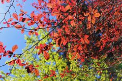 Fresh new leaves against a blue sky. Fresh new leaves brighten from spring sunshine against a blue sky royalty free stock images