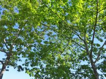 Fresh new leaves against a blue sky. Fresh new leaves brighten from spring sunshine against a blue sky royalty free stock image