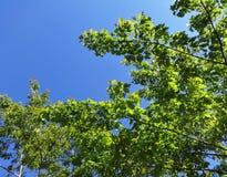 Fresh new leaves against a blue sky. Fresh new leaves brighten from spring sunshine against a blue sky stock image