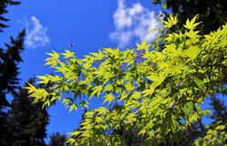 Fresh new maple leaves in May royalty free stock image