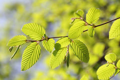 Fresh new leaves in springtime Stock Photos