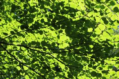 Fresh new leaves in springtime. Fresh new leaves brighten from spring sunshine under a blue sky royalty free stock images