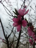 Flower of peach tree stock photos