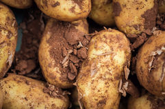 Fresh new organic potatoes covered in soil, food market display Royalty Free Stock Photos