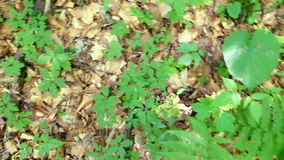 Fresh new plants growing through old fallen leaves in deep highland forest stock video