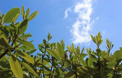 Rhododendron new leaves with spring sky. Fresh new rhododendron leaves brighten from spring sunshine against blue sky royalty free stock photos