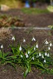 Fresh new spring flowers, white snowdrop flowers blooming in a garden flowerbed stock image