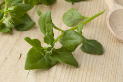 Fresh New Zealand spinach leaves Royalty Free Stock Photography