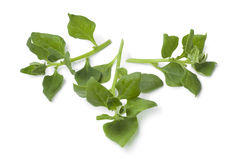 Fresh New Zealand spinach leaves Stock Photography