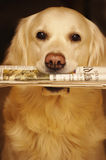 Fresh news. Golden retriever dog carrying a newspaper stock photo