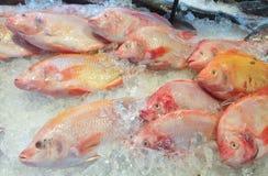 Fresh Nile tiapia in the Market. Oreochromis niloticus-mossambicus Stock Photos