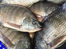 fresh nile tilapia fish Stock Photos