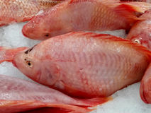 Fresh Nile tilapia fishes Royalty Free Stock Photography