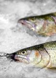 Fresh Norwegian salmon Trout on ice in supermarket Stock Photography
