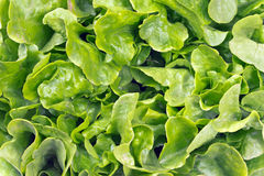 Free Fresh Oak Leaf Lettuce Royalty Free Stock Photos - 54814418