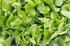Fresh oak leaf lettuce Royalty Free Stock Photos